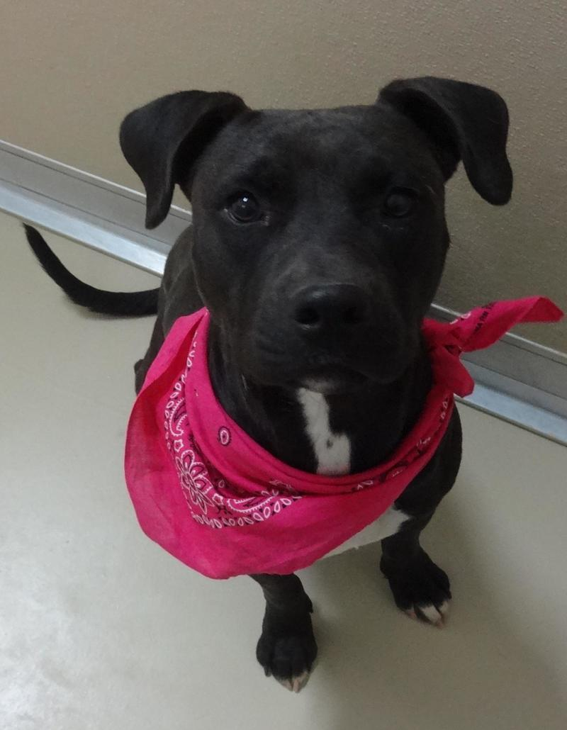 Black Dog Wearing a Pink Bandanna Around Neck